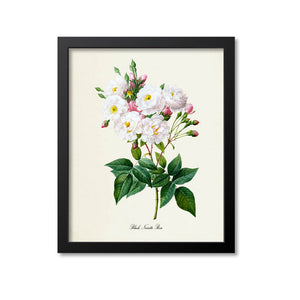 Blush Noisette Rose Flower Art Print