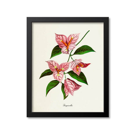 Bougainvillea Flower Art Print