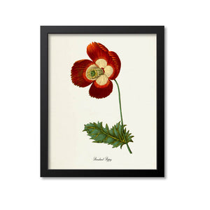 Breadseed Poppy Flower Art Print