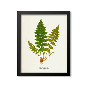 Brittle Bladder Fern Art Print