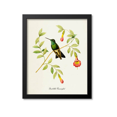 Broad-billed Hummingbird Print