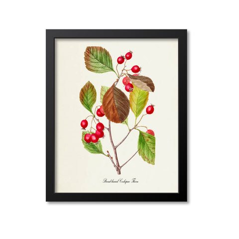 Broad-leaved Cockspur Thorn Art Print