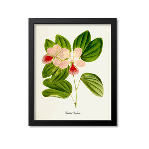 Buddhist Bauhinia Flower Art Print