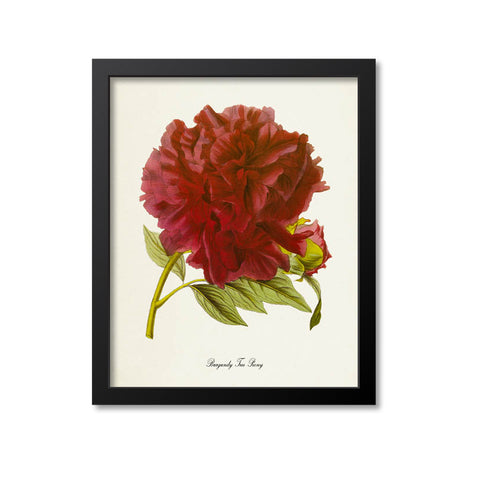 Burgundy Tree Peony Flower Art Print