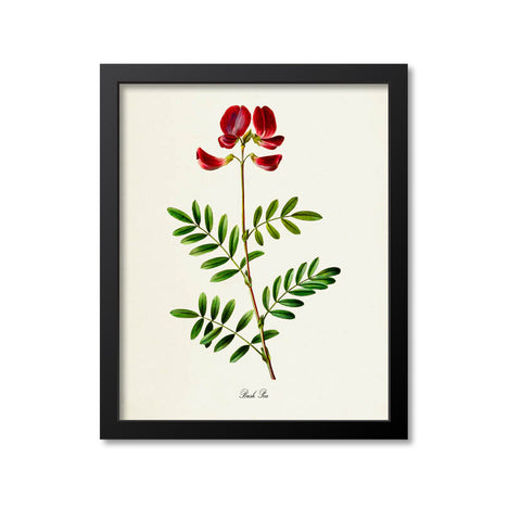 Bush Pea Flower Art Print