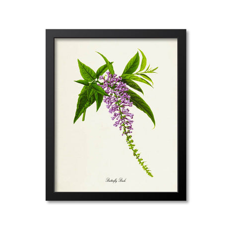 Butterfly Bush Flower Art Print