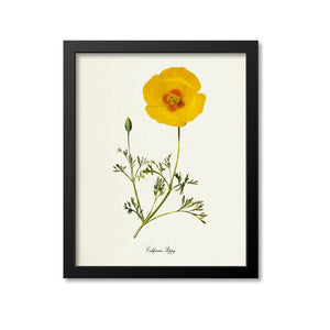 California Poppy Flower Art Print