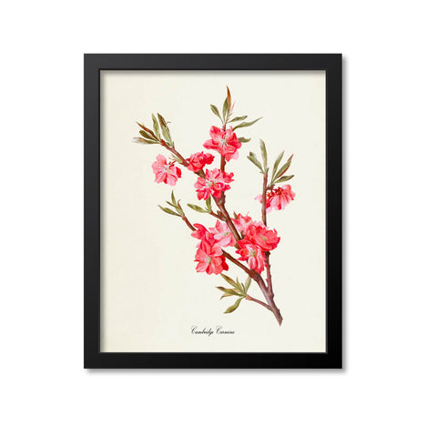 Cambridge Carmine Peach Tree Flower Art Print