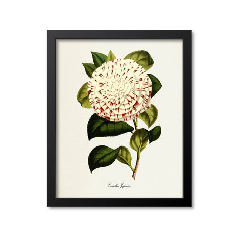 Camellia Japonica Flower Art Print, White, Red