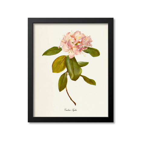 Carolina Azalea Flower Art Print