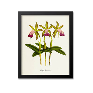 Cattleya Dormaniana Flower Art Print