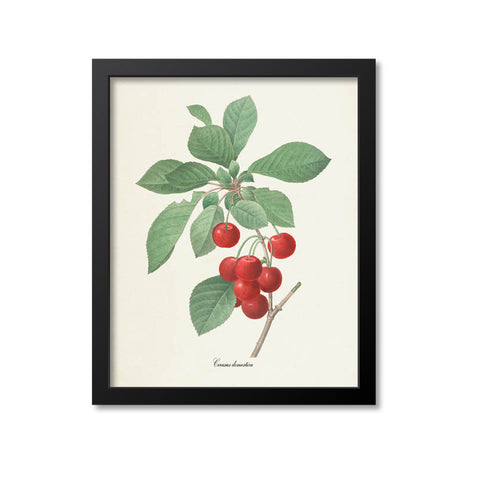 Cherry Botanical Print