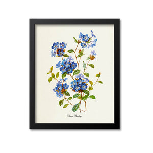 Chinese Plumbago Flower Art Print