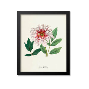 Chinese Tree Peony Flower Art Print