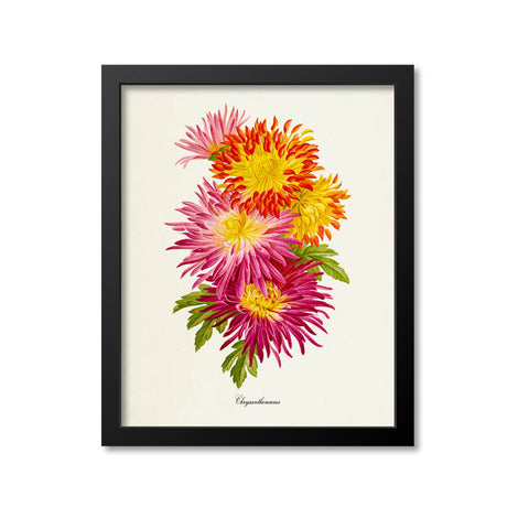 Chrysanthemum Flower Art Print, Pink, Red, Yellow 2