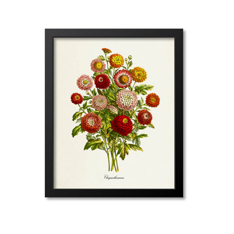 Chrysanthemum Flower Art Print, Pink, Red, Yellow