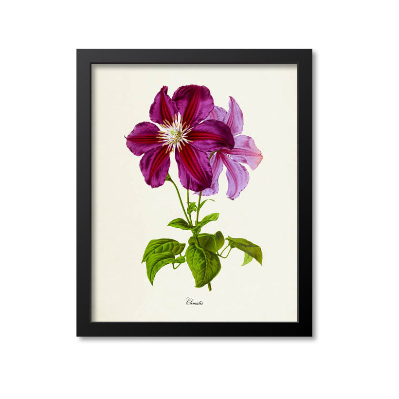 Clematis Flower Art Print