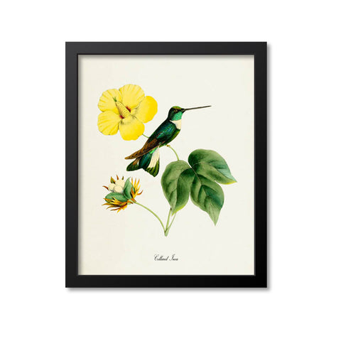 Collared Inca Hummingbird Print