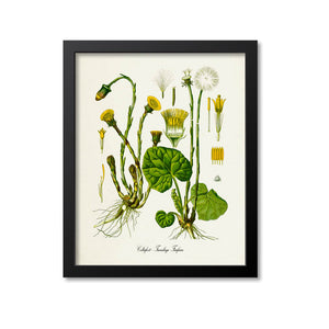 Coltsfoot Botanical Print