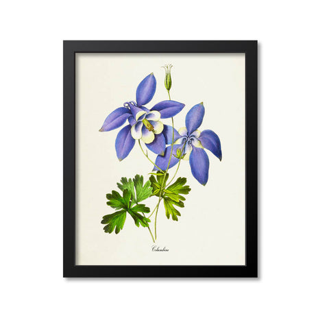 Columbine Flower Art Print