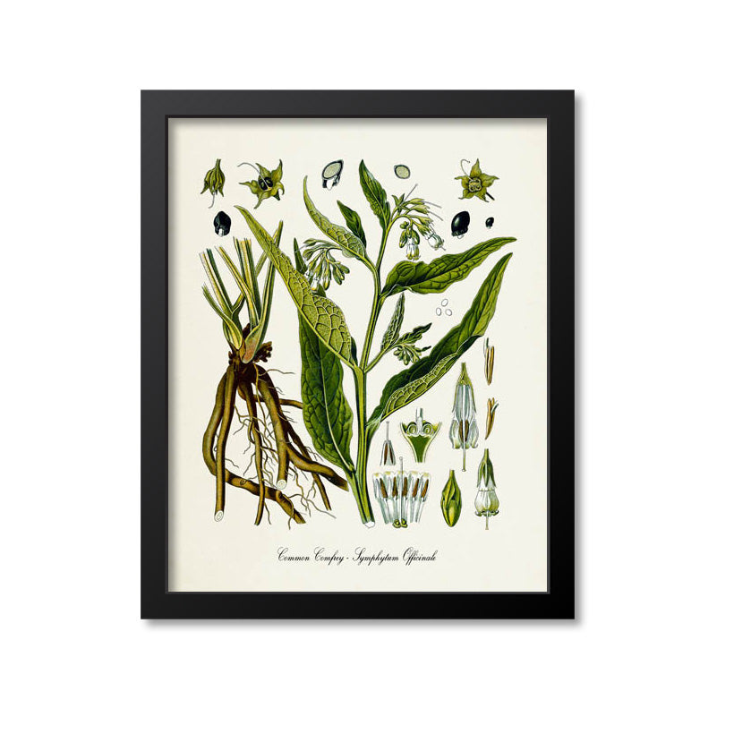 Common Comfrey Botanical Print