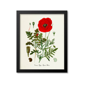 Common Poppy Botanical Print