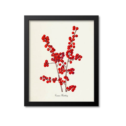 Common Winterberry Art Print