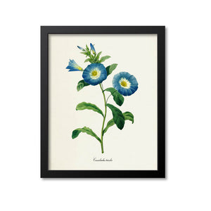 Dwarf Morning Glory Flower Art Print
