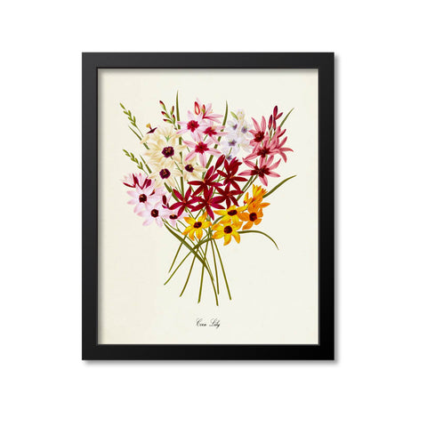 Corn Lily Flower Art Print
