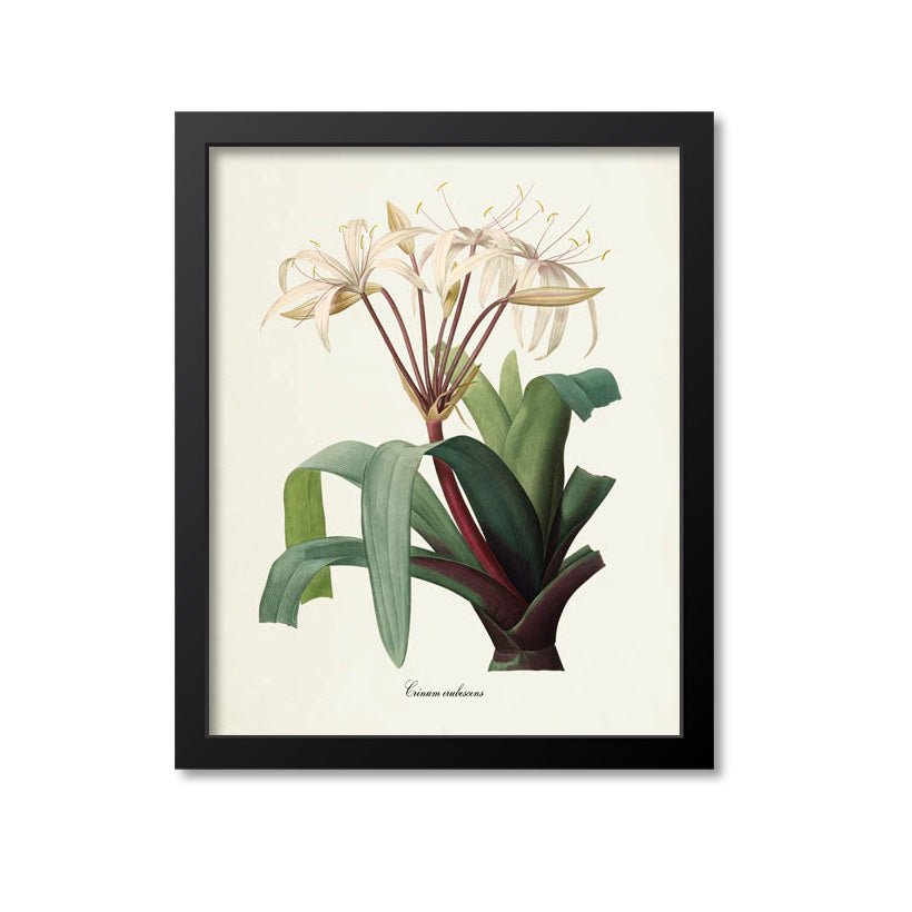 South American Swamp Lily Flower Art Print