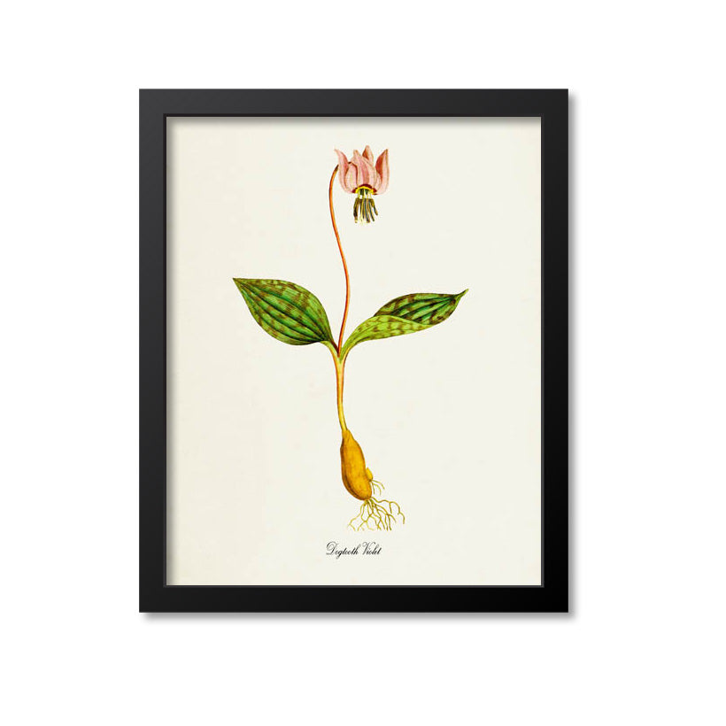 Dogtooth Violet Flower Art Print
