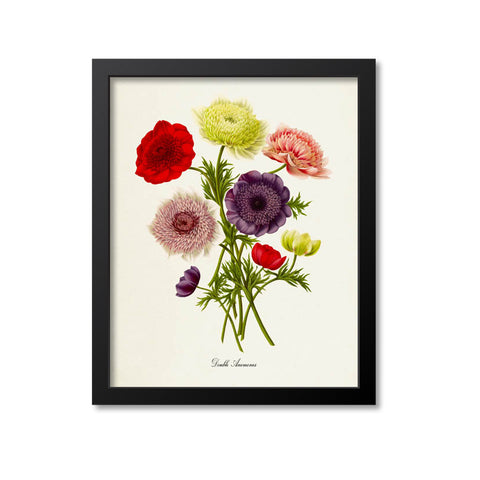 Double Anemones Flower Art Print