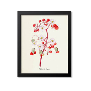 Elephant Ear Begonia Flower Art Print