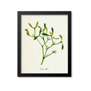 European Mistletoe Art Print