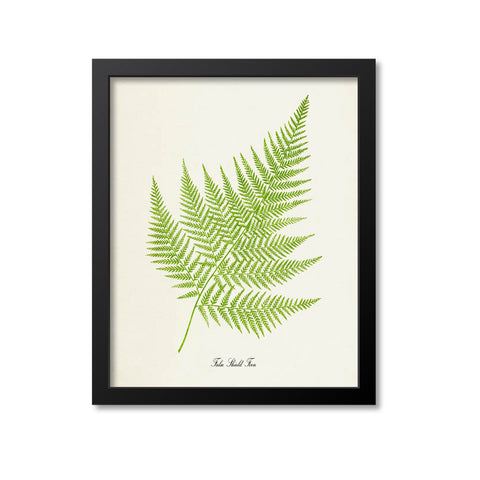 False Shield Fern Art Print
