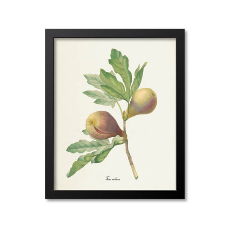 Fig Botanical Print