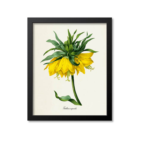 Crown imperial fritillary Flower Art Print, Yellow