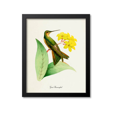 Giant Hummingbird Print