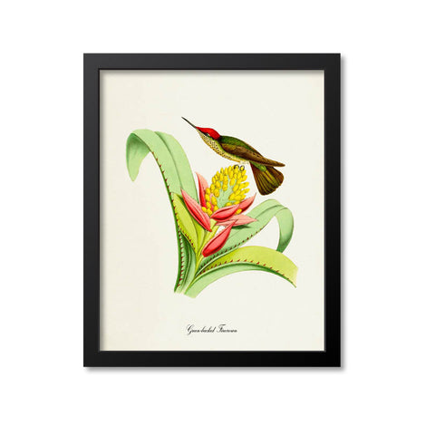 Green-backed Firecrown Hummingbird Print