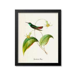 Green-throated Mango Hummingbird Print
