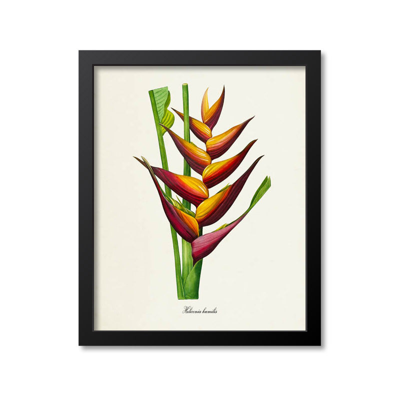 Lobster Claw Flower Art Print