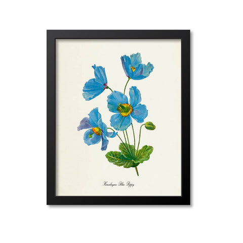 Himalayan Blue Poppy Flower Art Print