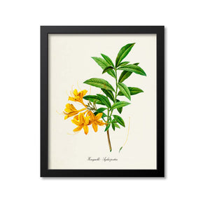 Honeysuckle Flower Art Print