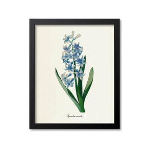 Common Hyacinth Flower Art Print