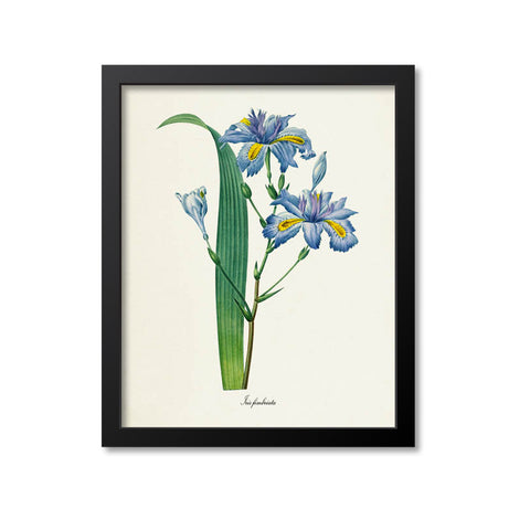 Fringed Iris Flower Art Print, Japanese Iris, Butterfly Flower