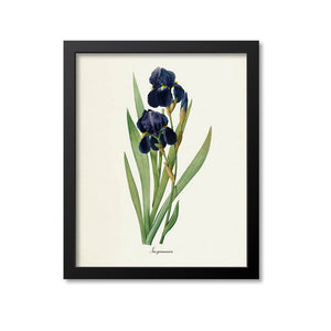 Bearded Iris Flower Art Print, German Iris