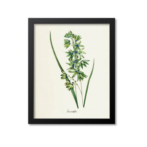 Corn Lily Flower Art Print, Turquoise