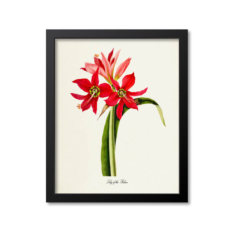 Lily of the Palace Flower Art Print