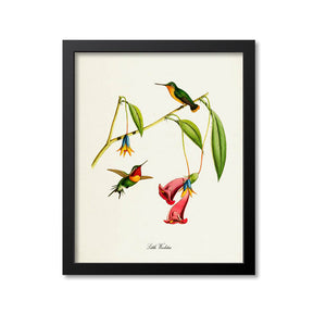 Little Woodstar Hummingbird Print