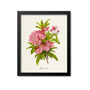 Mountain Laurel Flower Art Print